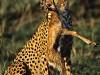 carlodelli-1c-Kenia-ghepardo e gazzella