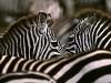 carlodelli-1d-Kenia-zebre