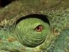 carlodelli-7c-Madagascar-camaleonte di Parson